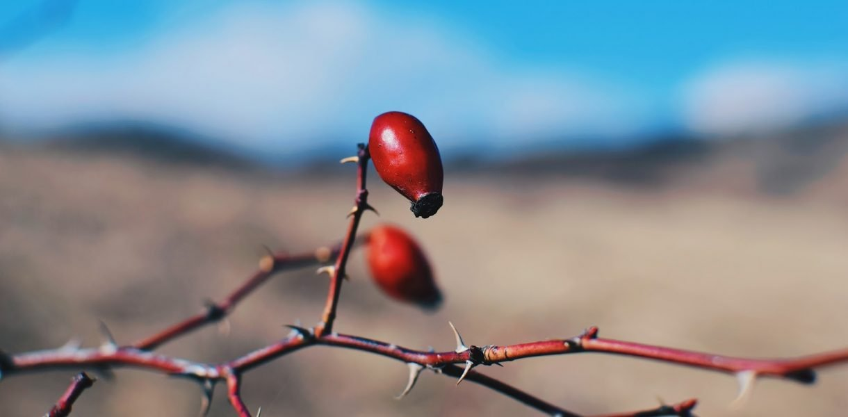Ingredient Spotlight: Rosehip Oil Benefits