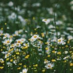 Ingredient Spotlight: Chamomile Flower Extract